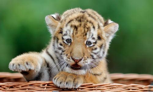 """挥舞着""""保护老虎,我们在行动""""的标语"""