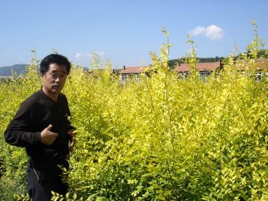 产品大全高级搜索: -产品名称 彩叶树种 中华金叶榆工程苗图片
